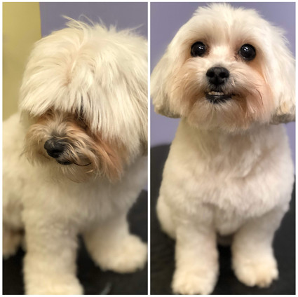Multipoo -  Mix Breed
