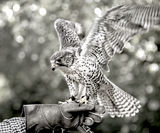 London Woodland Falconry Experience