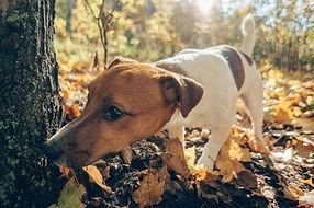 Dog hunting outdoors. Autumn season.jpg