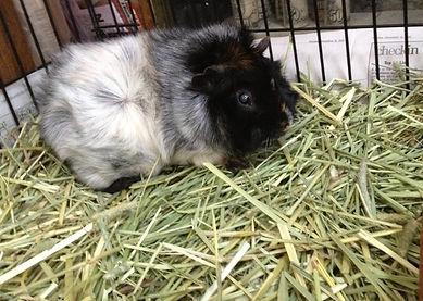 Woodstock snacking on hay