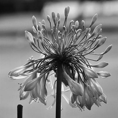 Afrikanska liljan .jpg