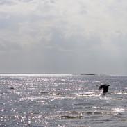 Havetochkråkan.jpg