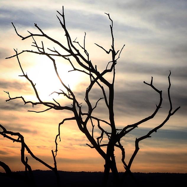Brösarpsträdet