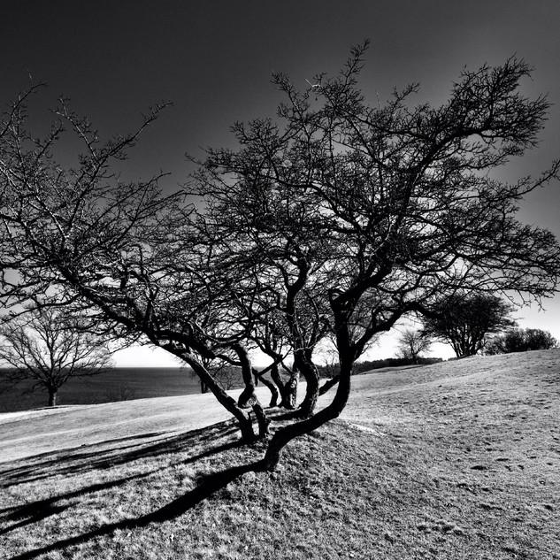 Favoträd.jpg