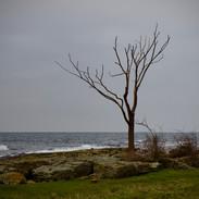 Ensamtkustträd