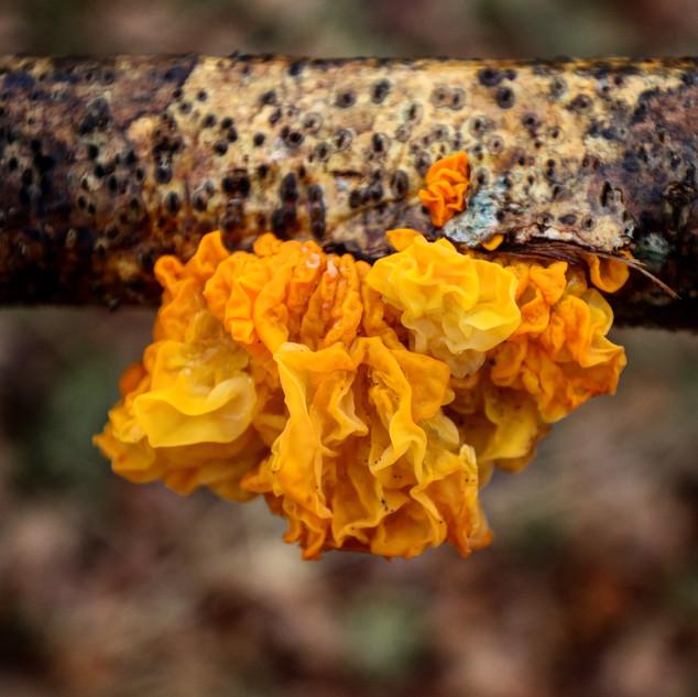 trädsvamp