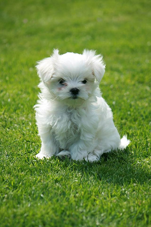 How Many Puppies Do Maltese Dogs Have