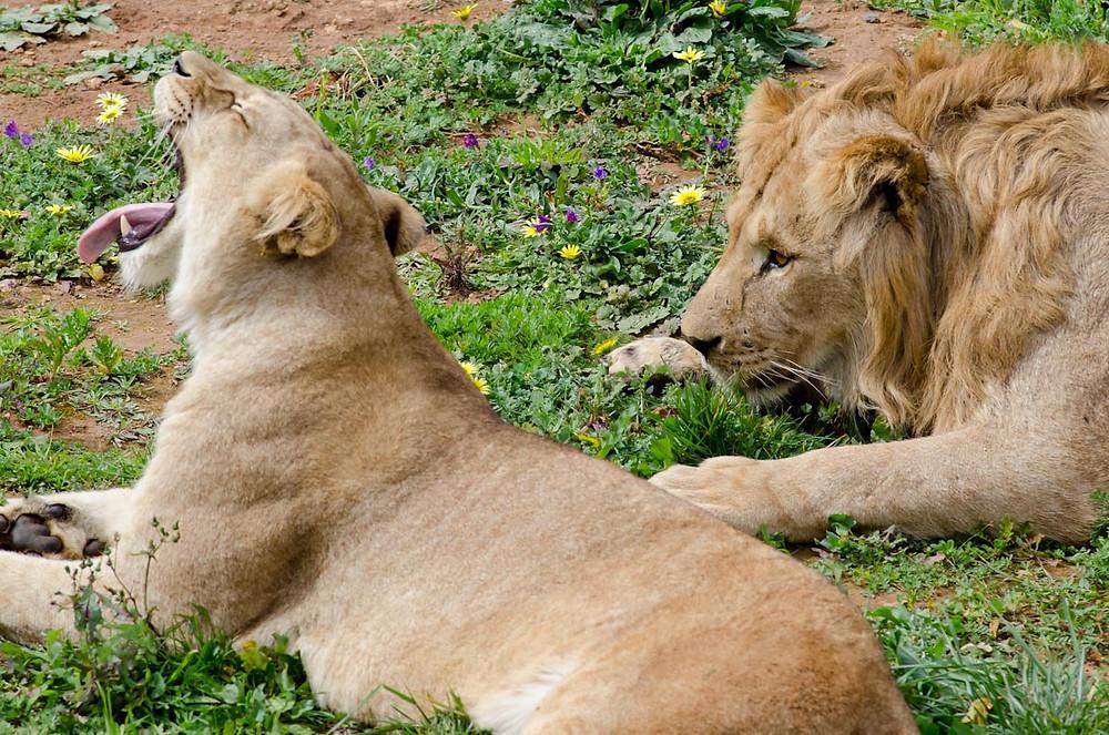 lions_at_rabat_zoo.jpg
