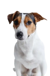 jack-russell-aggression-dog-behaviour.we