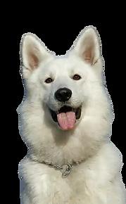 swiss-shepherd-dog-trainer.webp