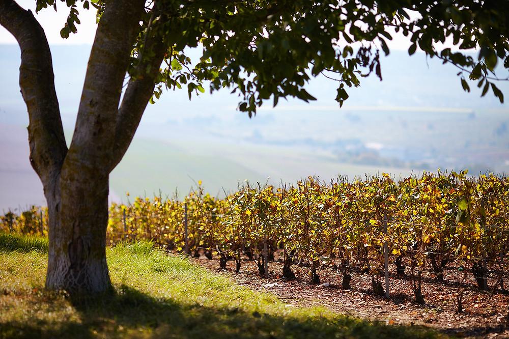 champagne direct producteur vigne terroir champagne