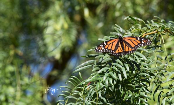 Monarch on Tree