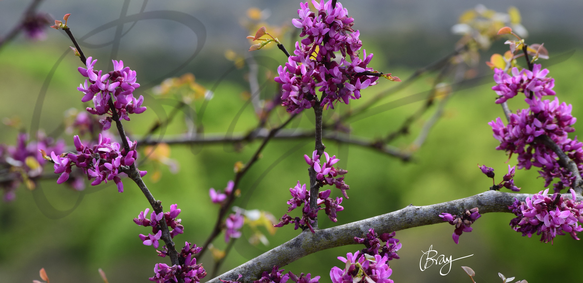 Redbud at Old Tunnel