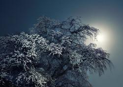 月夜の老桜