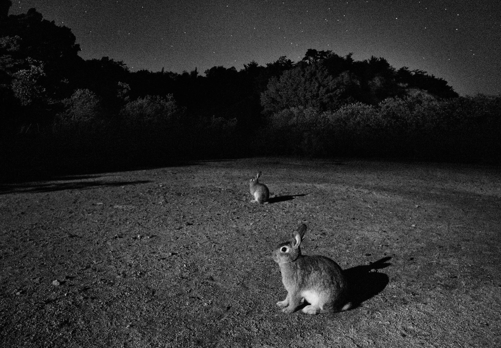 夜の野ウサギ