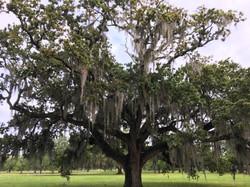 Live Oak Tree Louisiana