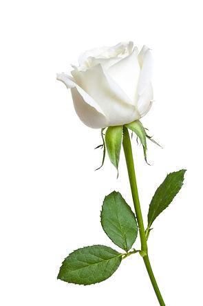 A single white Rose isolated on white ba