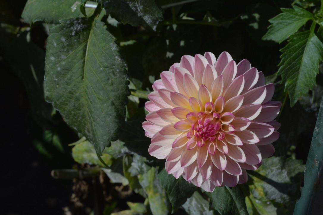 Dalia Garden - Golden Gate Park