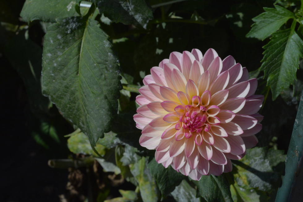 Dalia Garden - Golden Gate Park