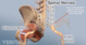 Sciatic Nerves and Nerve Roots.jpeg