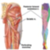 Sciatic Nerve.png