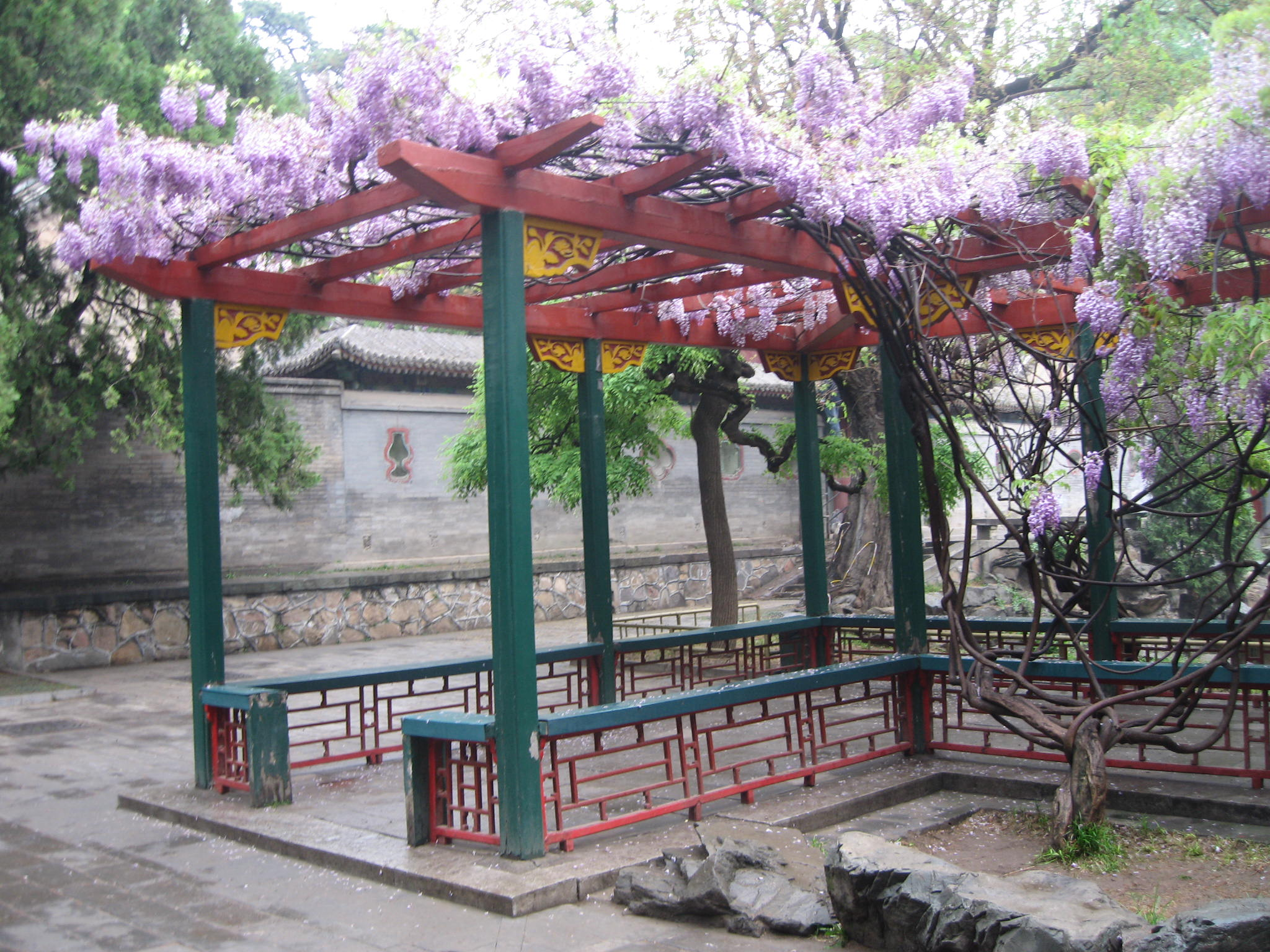 Wisteria in bloom, Beijing
