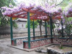 Wisteria in bloom, Beijing