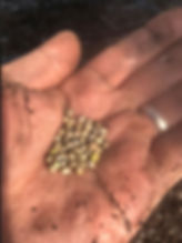 Hand with wedding ring holding hemp seeds ready for plantig to grow Hemp plants and produce CBD oil products