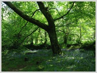 Rosemerryn Wood - Glade