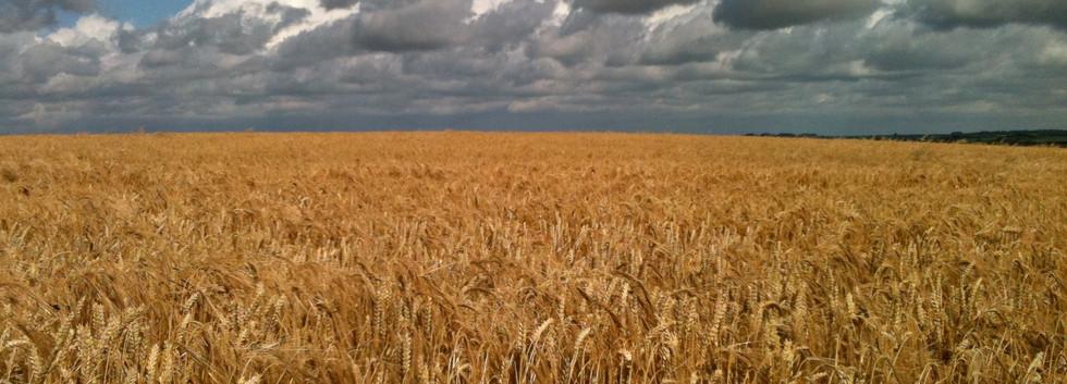 Avebury+Corn.jpg