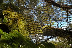 Fougère arborescente Belouve