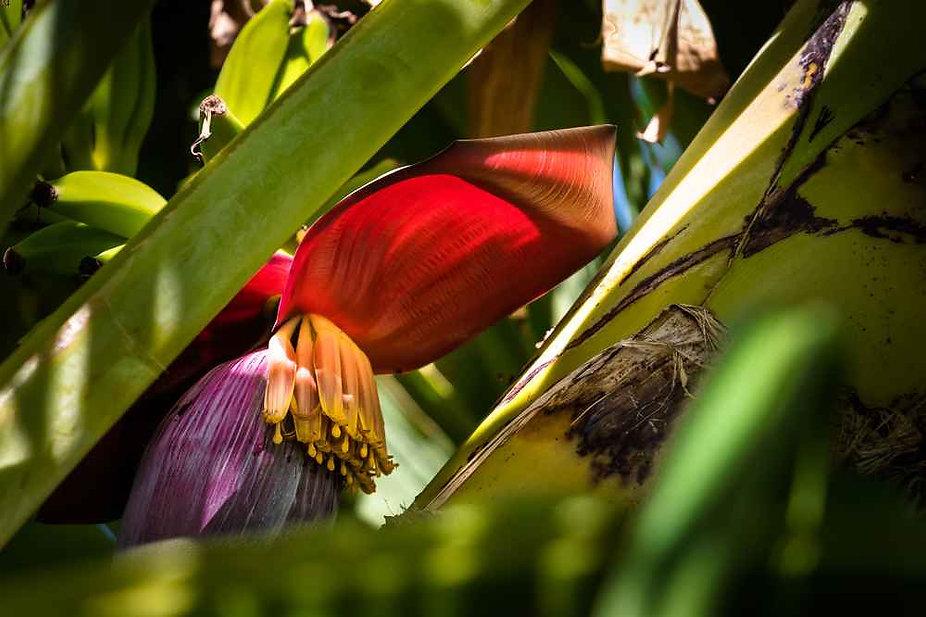 Babafigue du jardin, fleur de bananier qui se cuisine en cari.