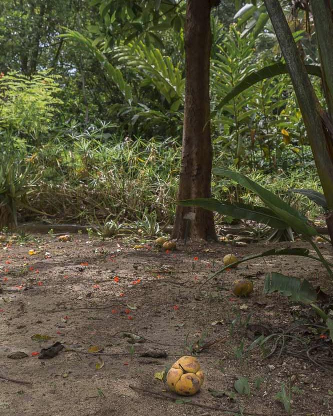 Baboul Graine bourrique pomme d'éléphant fruit
