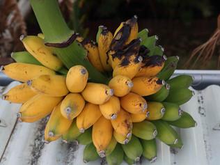 Les bananes figues