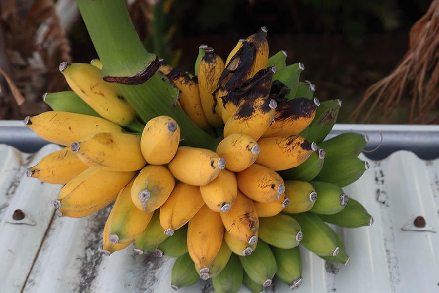 Régime bananes figues Ile Réunion