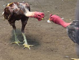 Combat de coqs à La Réunion une passion