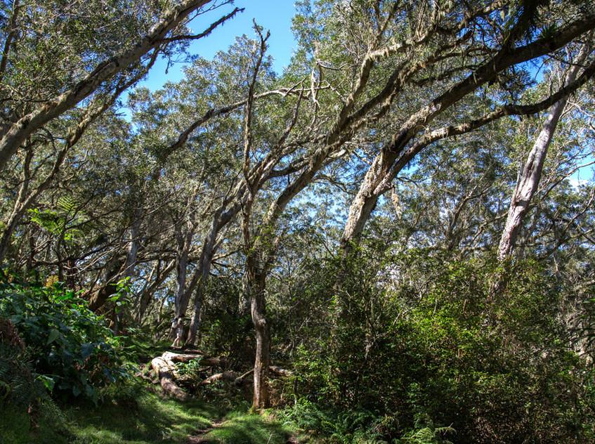 Tamarins penchés par le vent