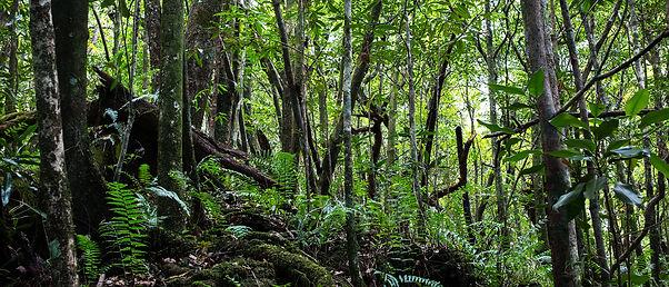 Forêt primaire des bas mare Longue Réunion