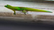Un bien beau gecko, une  bête bien envahissante. Le gecko poussière d'or.