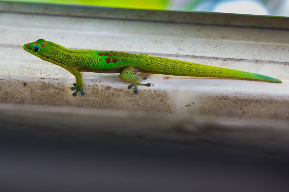 Gecko poussière d'or