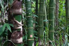 Bambous vers Bassin Sassa