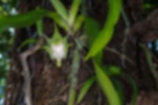 orchidée aeranthes arachnites Mare Longue Ile Réunion