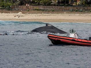 Des baleines à la plage.