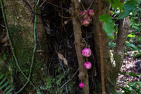 Bois de Pomme Mare Longue Ile Réunion