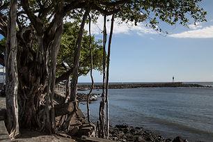 Les banians de Terre Sainte Saint Pierre Réunion