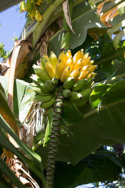 Régime bananes figues