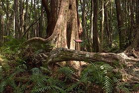 Forêt Mare Longue Ile Réunion