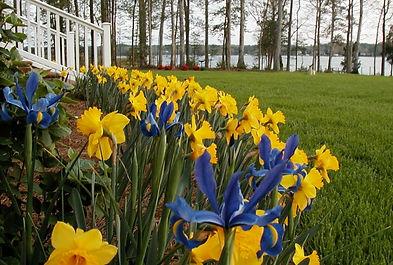 5 Gloucester Daffodila.jpg