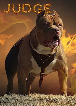 XXL pitbull judge