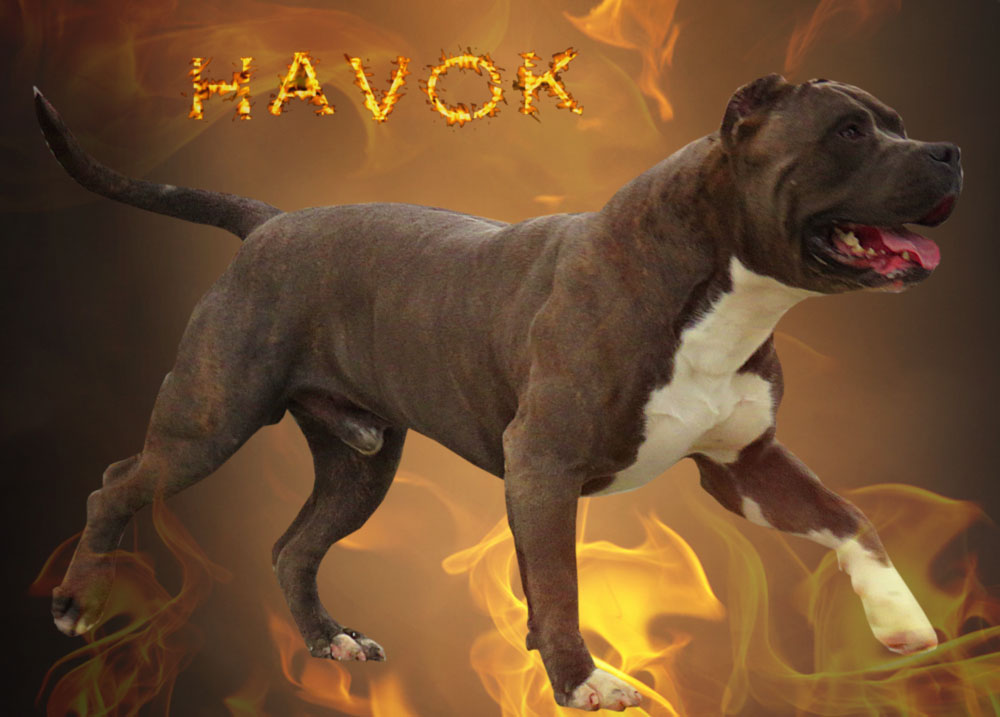 XL pitbull havok